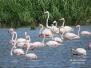 Flamencos en las lagunas de Alcazar